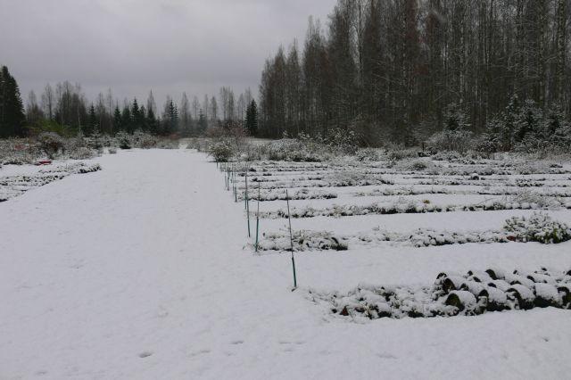 Astiataimien talvetus avomaalla