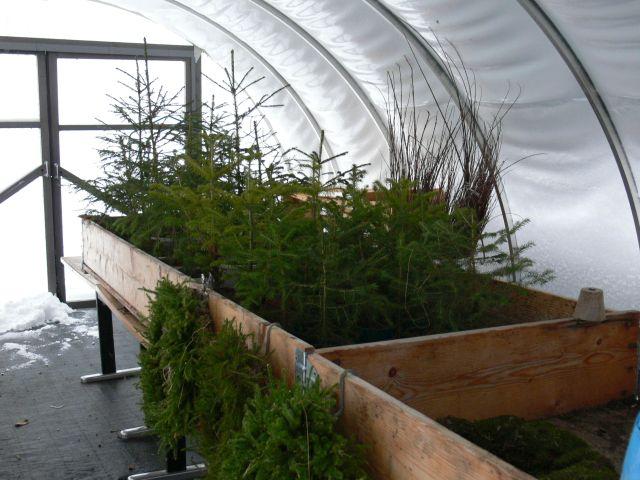 Taimet talvehtivat kasvihuoneessa