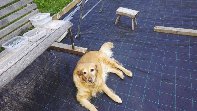 Luna-koira johtaa rakennustyömaata